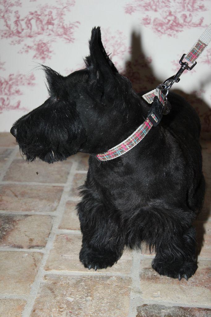 Les Scottish Terrier de l'affixe d'Aleksandrovsh