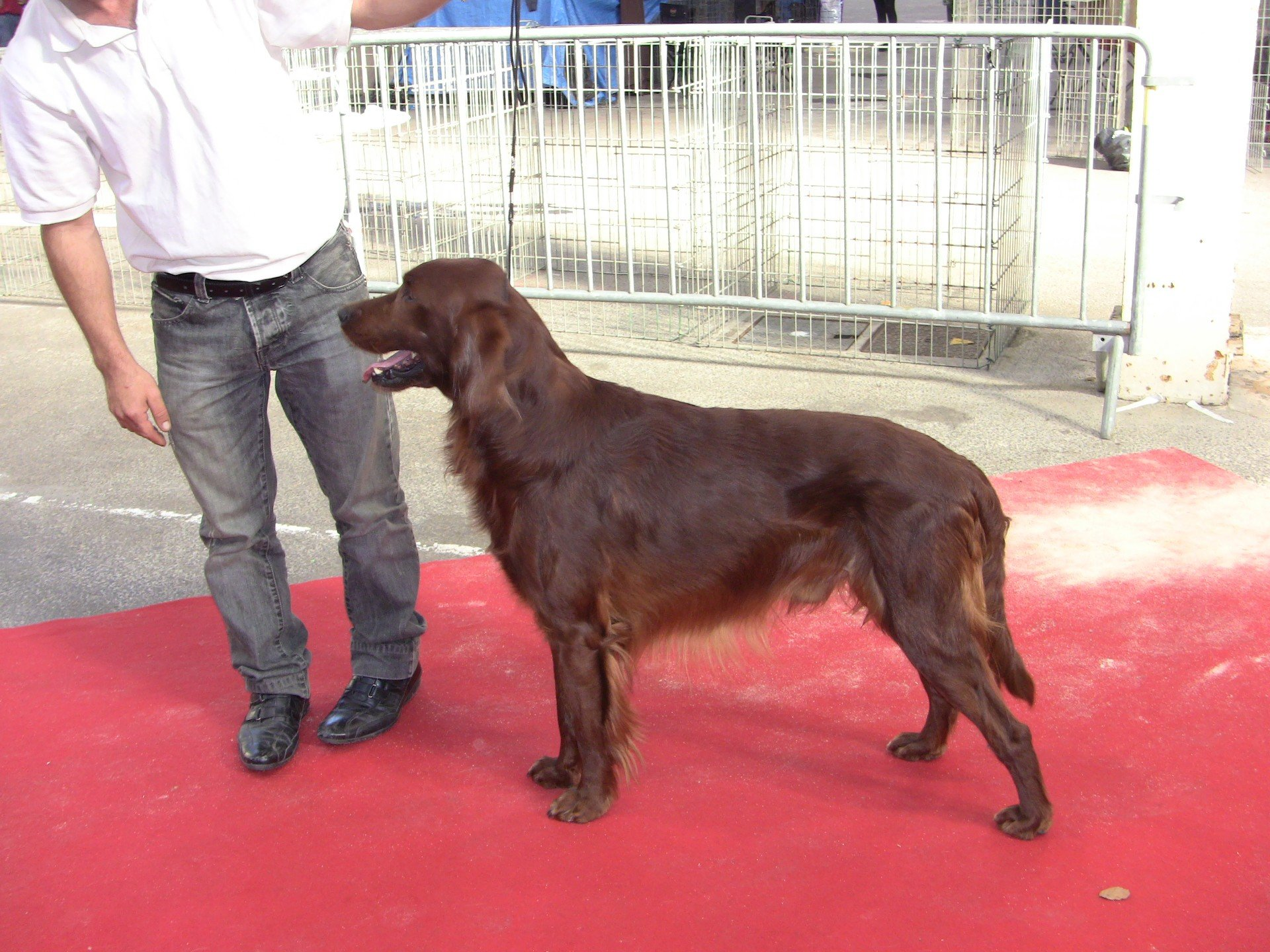 Chiot - SETTER IRLANDAIS - IRISH RED SETTER - IRISH RED