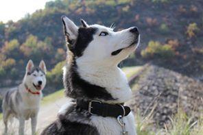 Siberian Husky - J'damon Wolf Of Sibalt