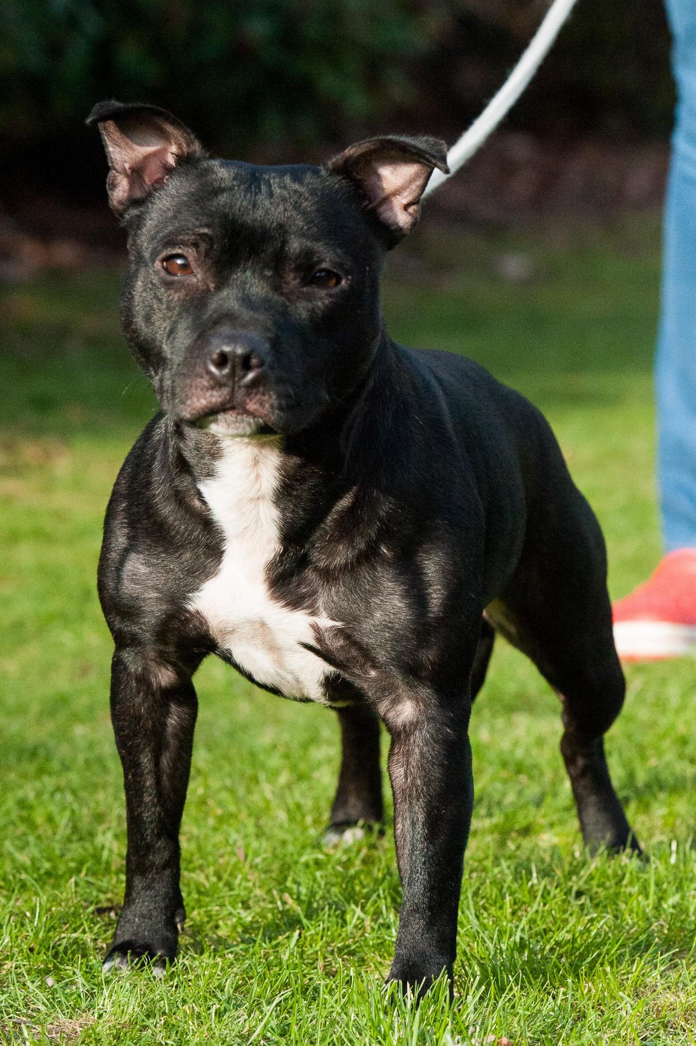 Les Staffordshire Bull Terrier de l'affixe Angel del Ronda Casa
