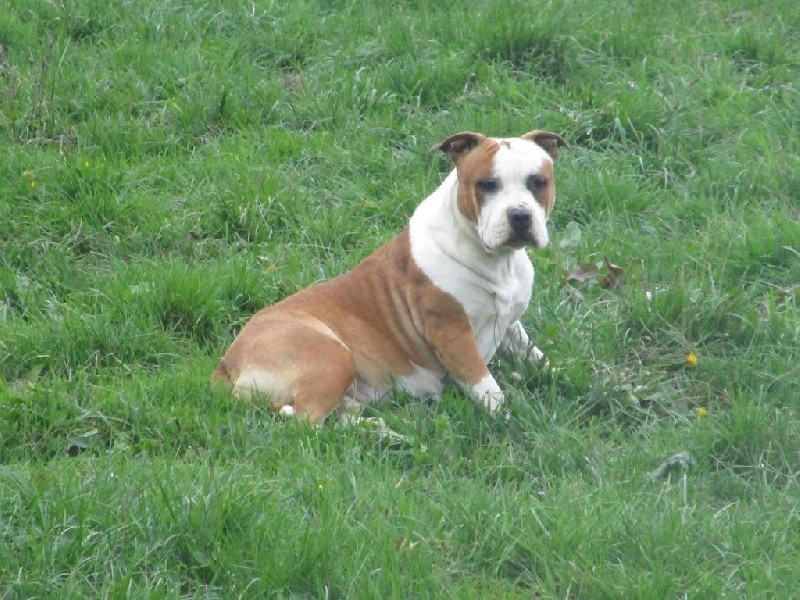 American Staffordshire Terrier - Hardstone's Lady sara