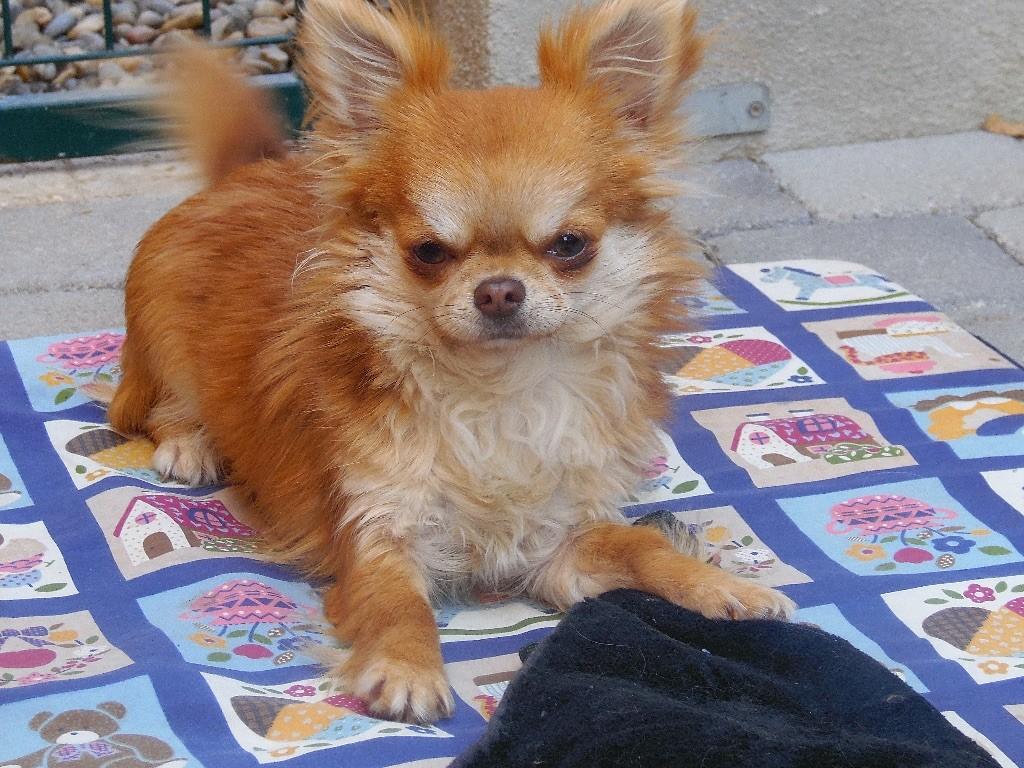Chihuahua - Lou Crozia Linette