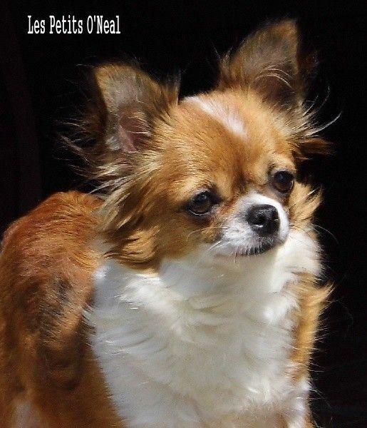 Les Chihuahua de l'affixe Des Petits O'neal