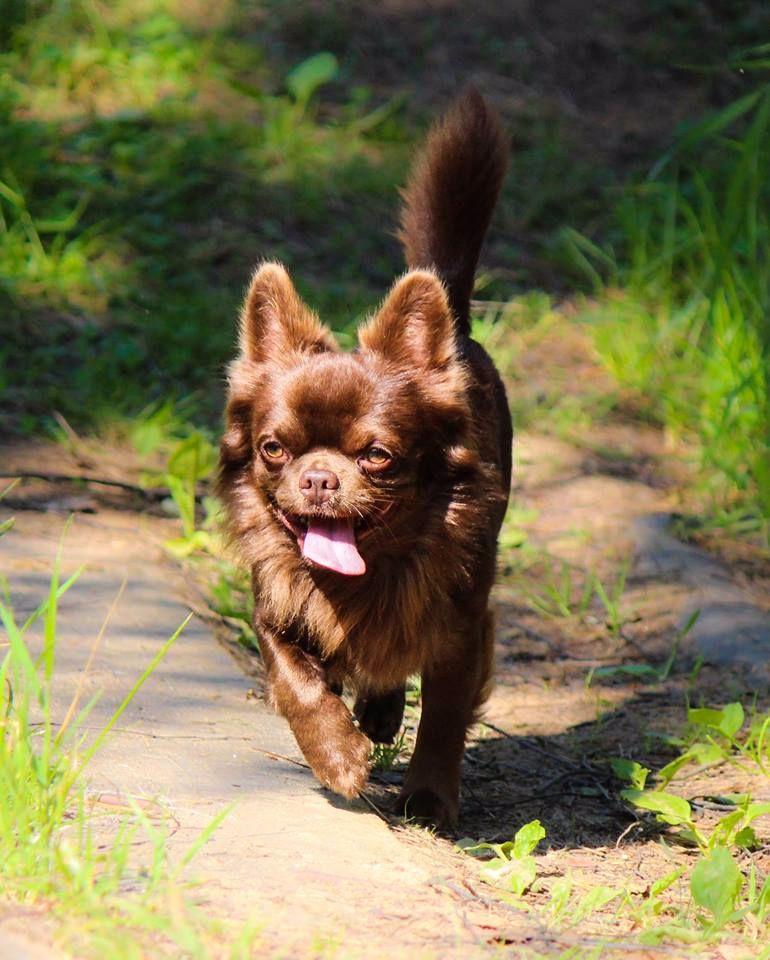 Chihuahua - CH. ekzotik lain Bomber