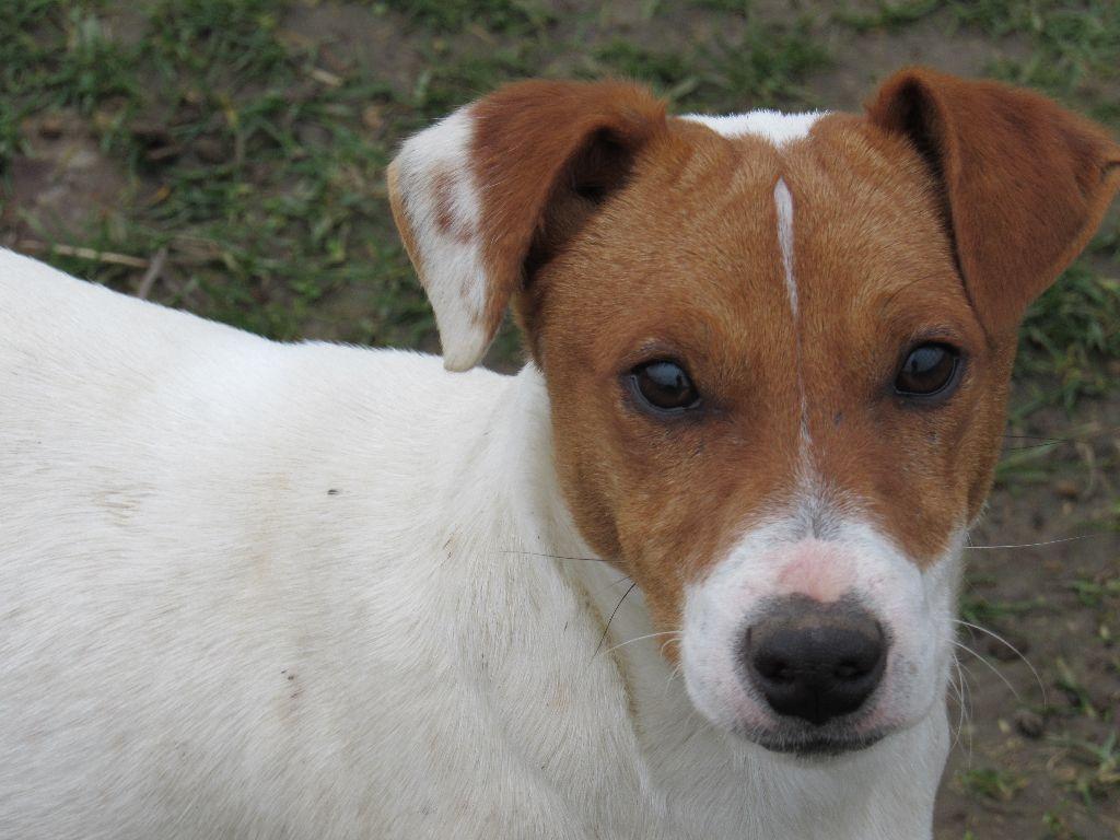 Les Jack Russell Terrier de l'affixe du domaine de la Rocherie