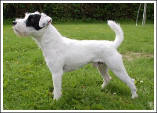 Parson Russell Terrier - falling branch Solid brass