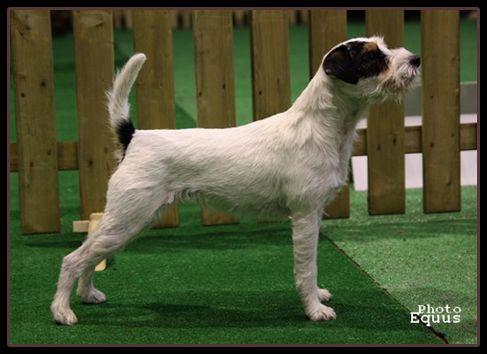 Parson Russell Terrier - Intrygantka mysia zaglada fci