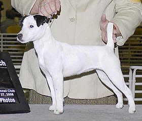 Parson Russell Terrier - richex Norwegian chess