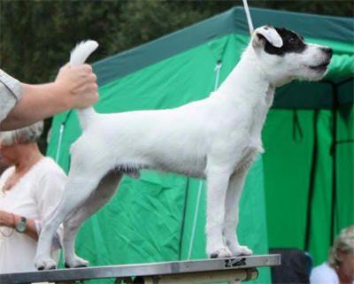 Parson Russell Terrier - CH. cavalli Caturra badger