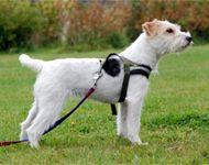 Parson Russell Terrier - plappermäulchen's Klara