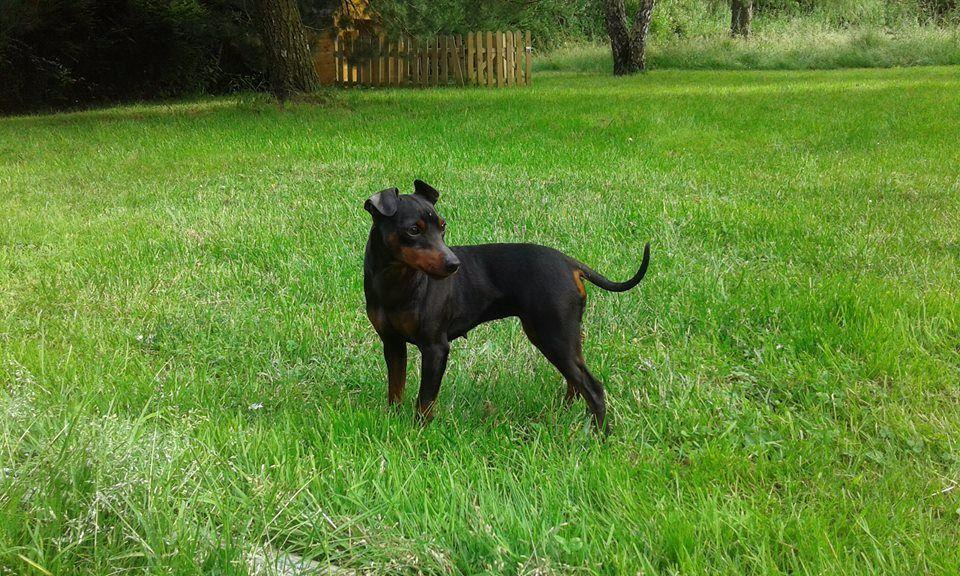 Accueil - Elevage Des princes pinscher - eleveur de chiens