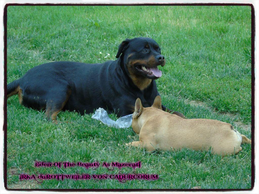 Les Rottweiler de l'affixe Mes Boulis D'amour