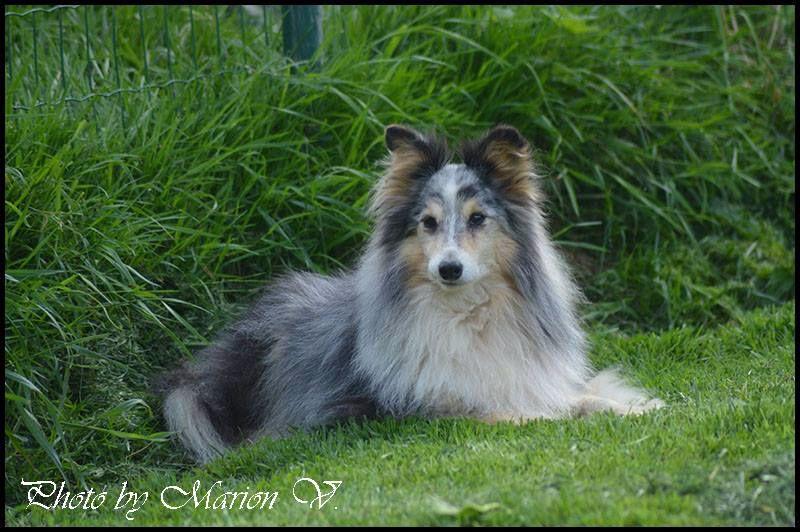 Les Shetland Sheepdog de l'affixe Du Jardin D'aouregan