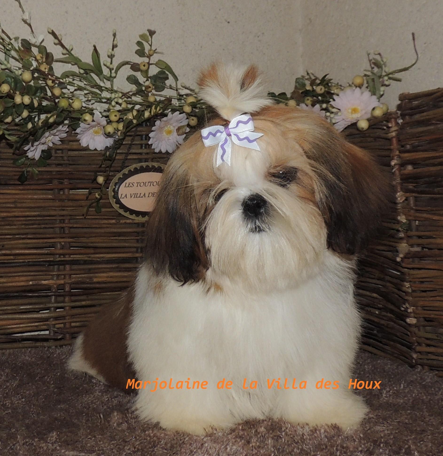 Marjolaine De La Villa Des Houx chien de race toutes races