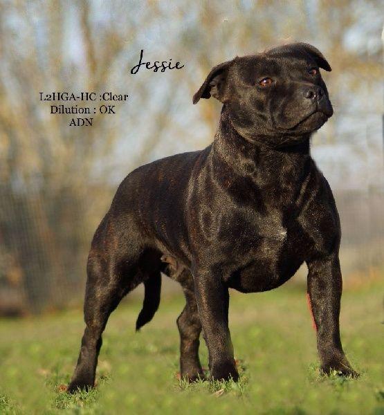 Les Staffordshire Bull Terrier de l'affixe Du Haras d'Autan
