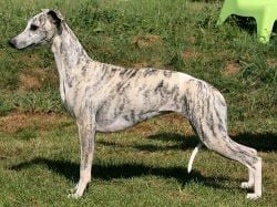 Whippet - CH. Xanthippe of Gentle Mind