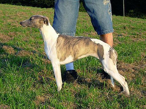 Whippet - Once in a while of Gentle Mind