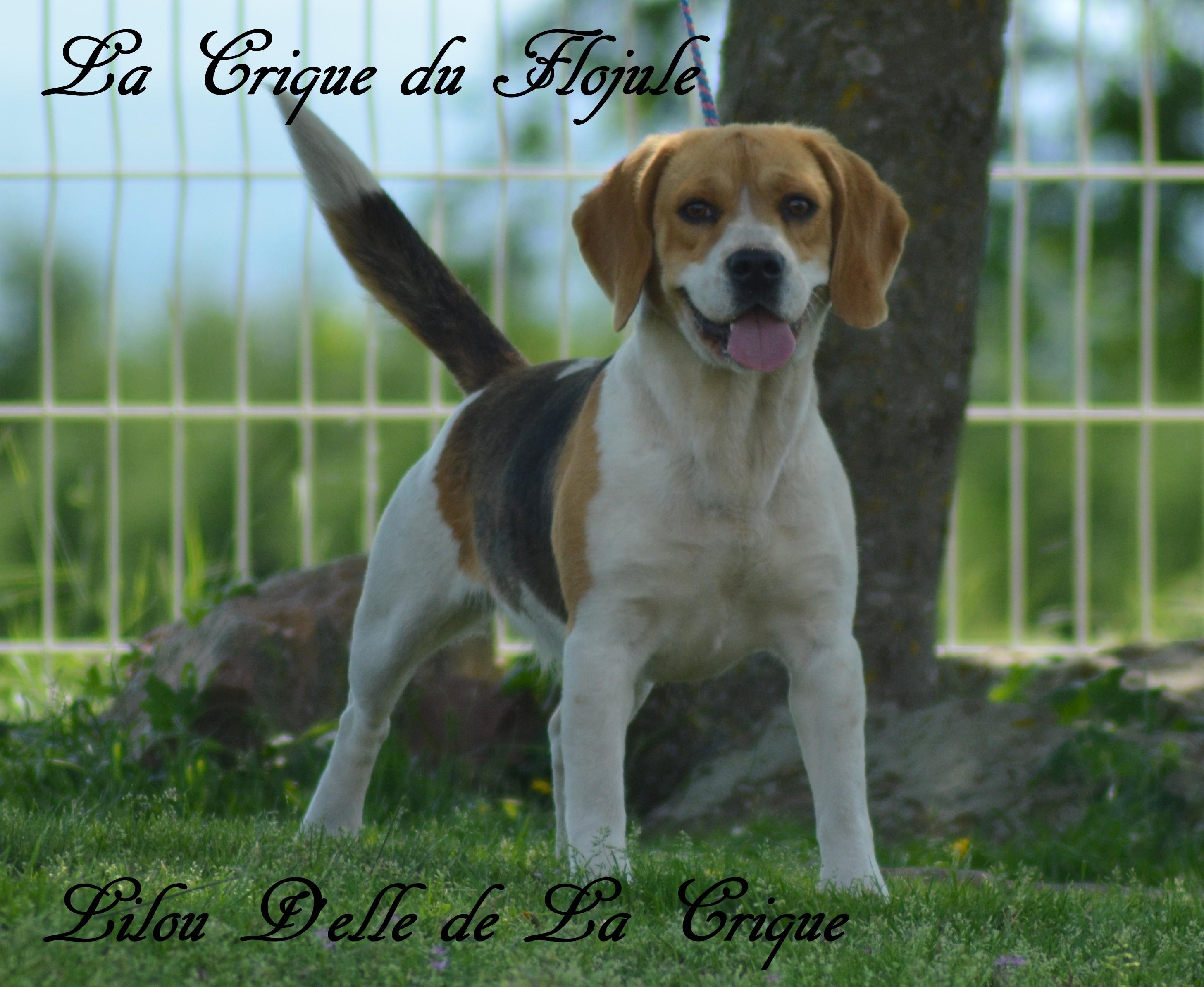 Les Beagle de l'affixe De la crique du Flojule