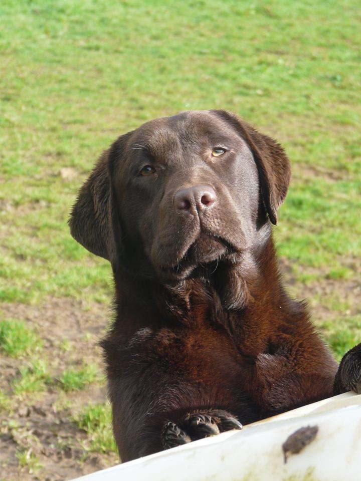 Labrador Retriever - Mary poppins dite mely Du Kastell Dinn