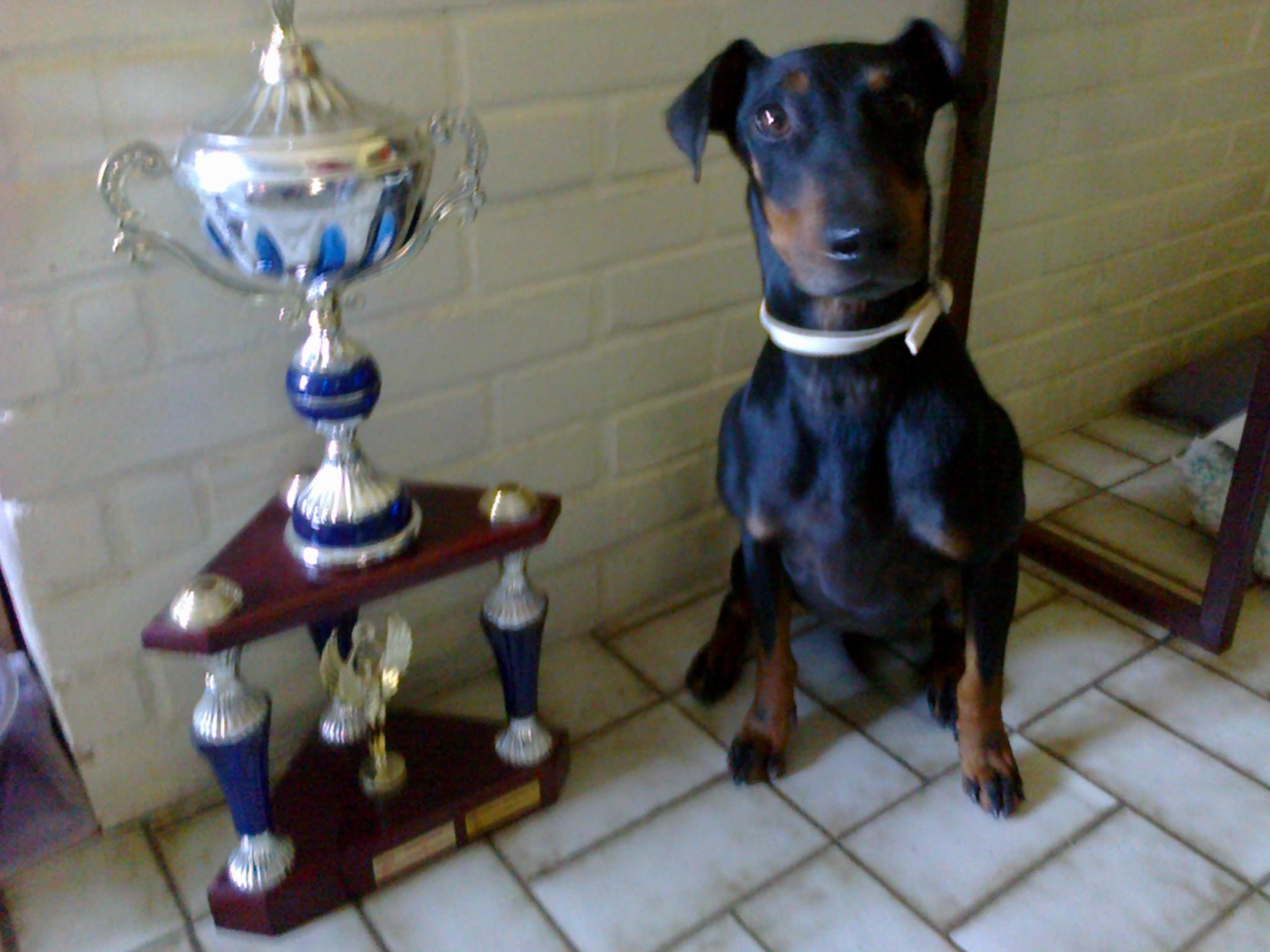 Le Standard de la race Manchester Terrier sur Atara.com
