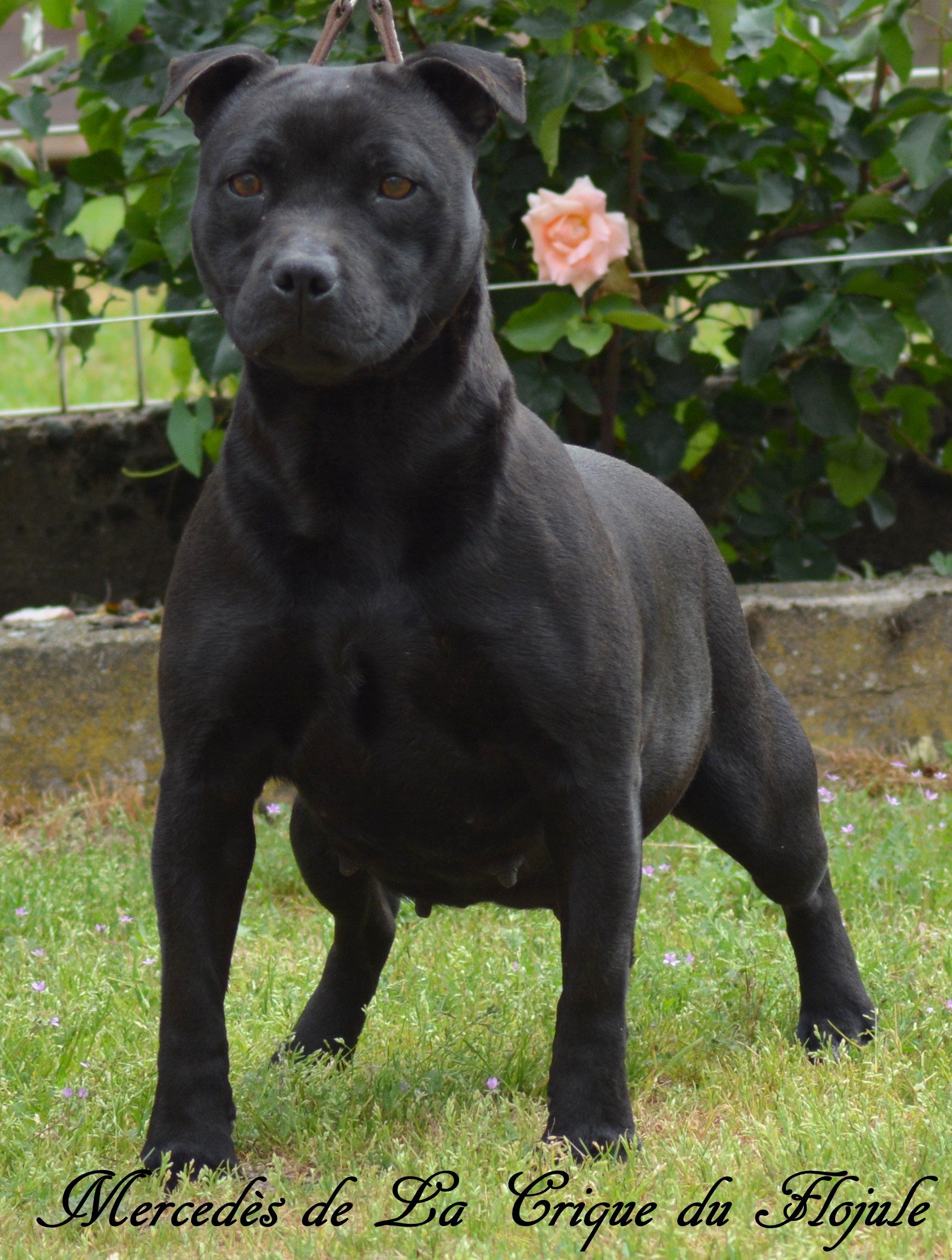 Staffordshire Bull Terrier - Mercédès De la crique du Flojule