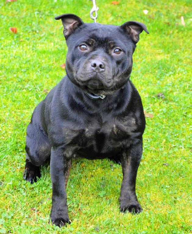 Les Staffordshire Bull Terrier de l'affixe du Fond Touyen