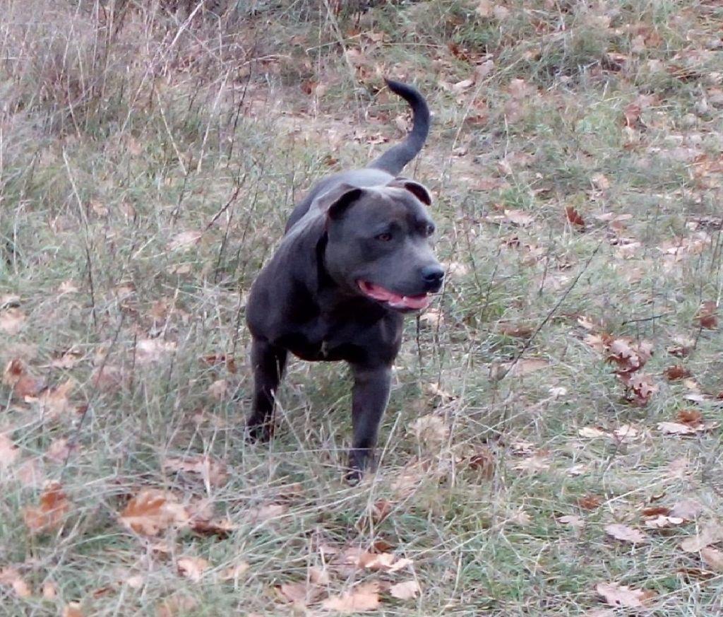 Les Staffordshire Bull Terrier de l'affixe StaffantomTitanium