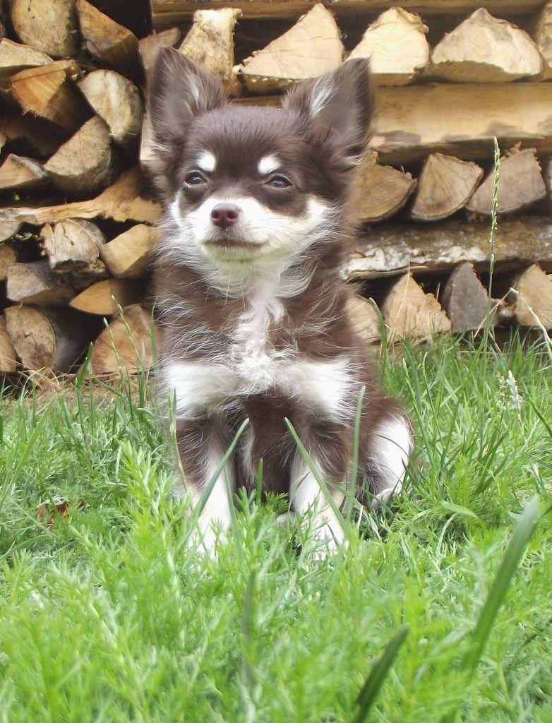 Les Chihuahua de l'affixe Du Domaine De Belen