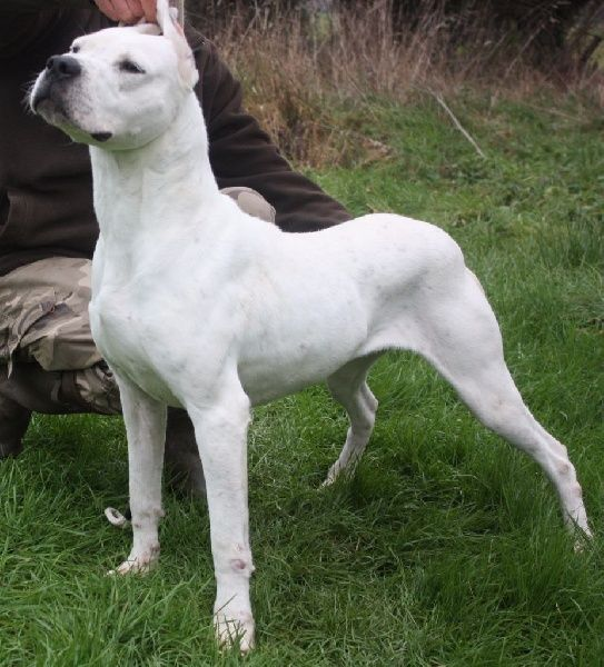 Dogo Argentino - Jenga De La Crau Blanche