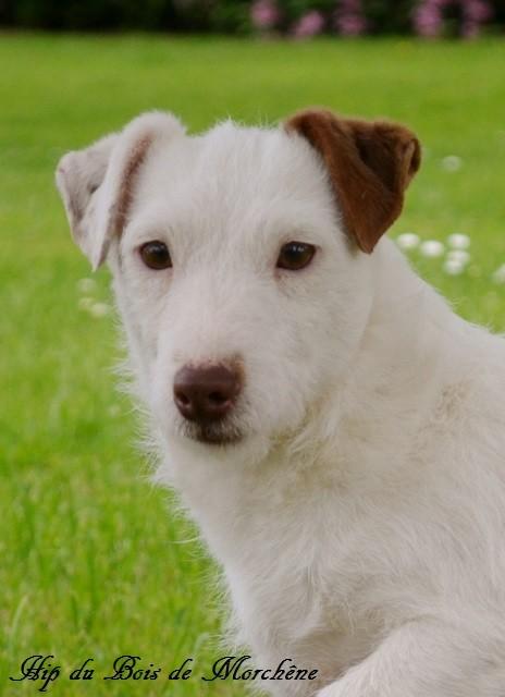 Les Jack Russell Terrier de l'affixe du bois de Morchène