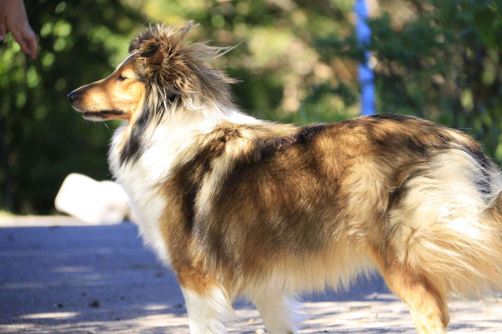 Le Standard de la race Shetland Sheepdog sur Atara.com
