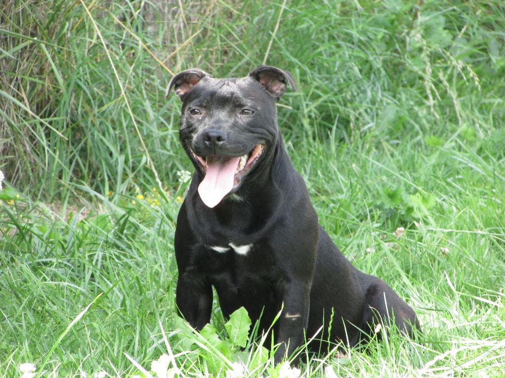 Les Staffordshire Bull Terrier de l'affixe De L' Entre Des Ghost Riders