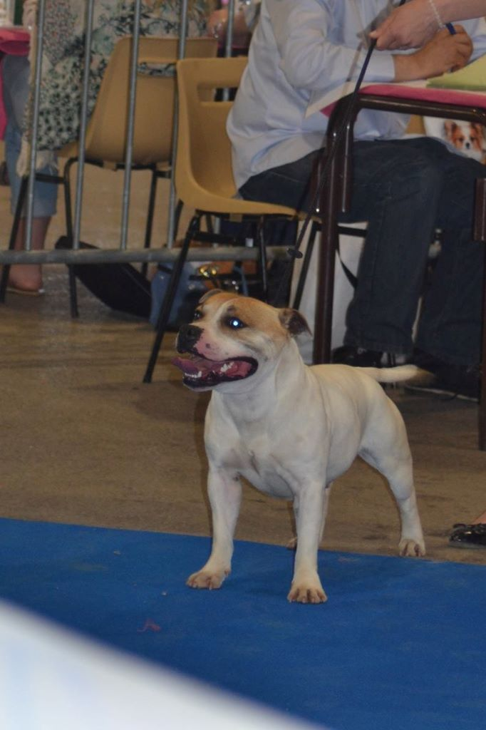 Staffordshire Bull Terrier - Beautiful Team Monster energy