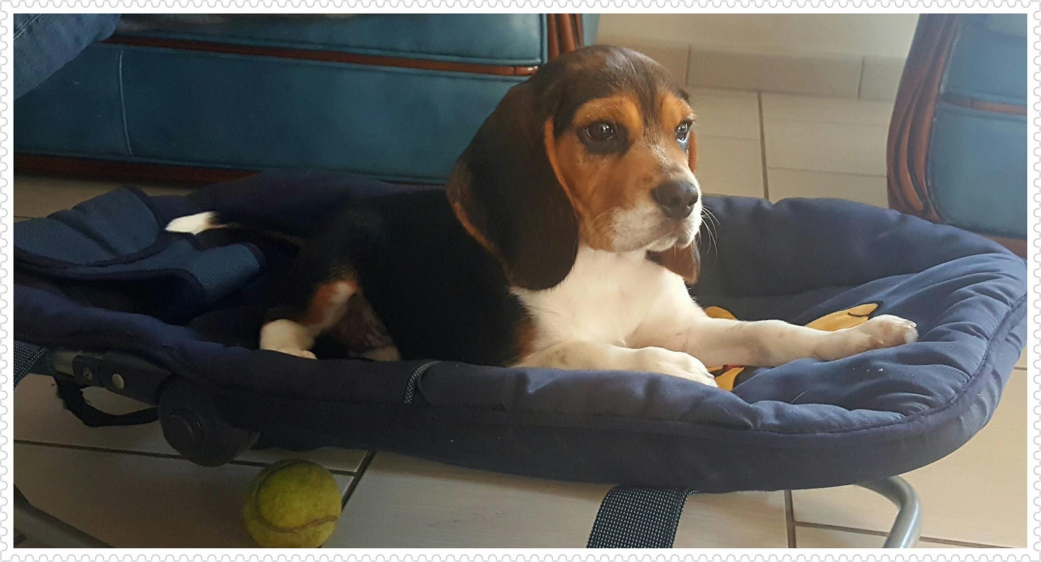 Les Beagle de l'affixe Hunters Of Dreams