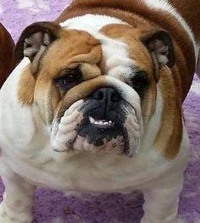 Les Bulldog Anglais de l'affixe du Domaine des Cotieres