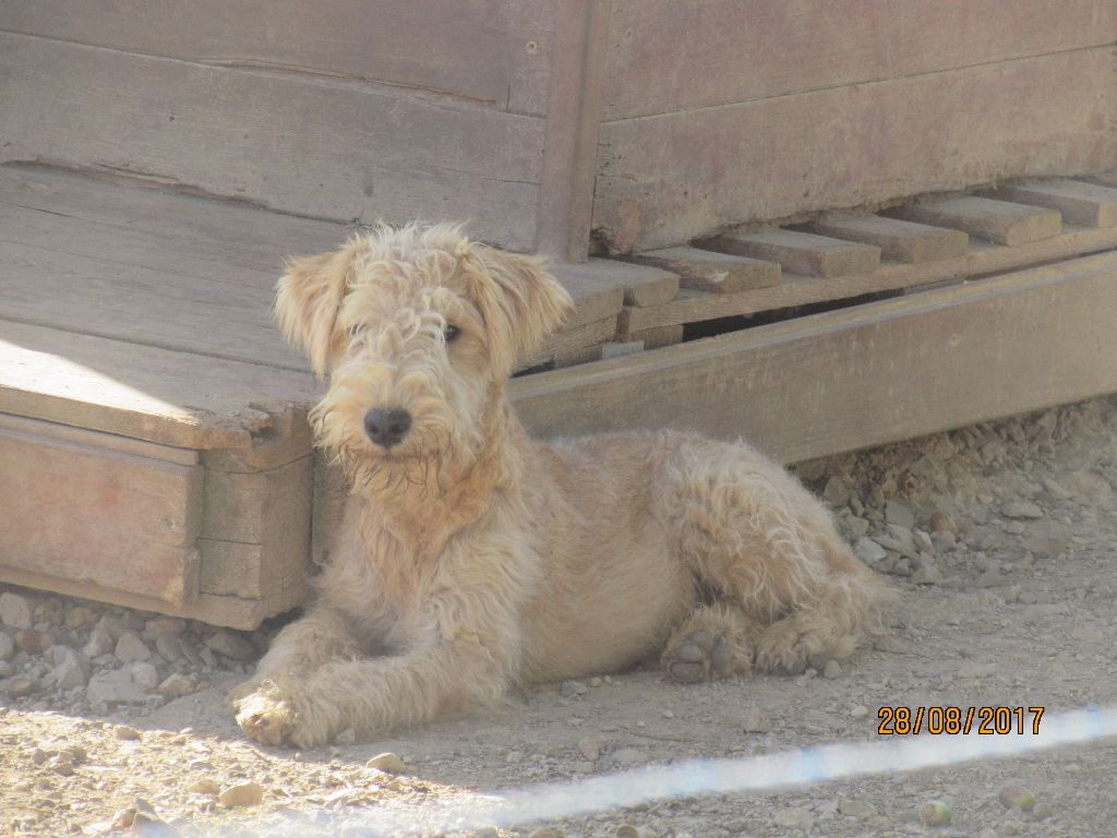Lakeland Terrier - N'ergie of caniland's dream