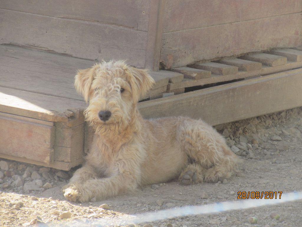 Les Lakeland Terrier de l'affixe of caniland's dream