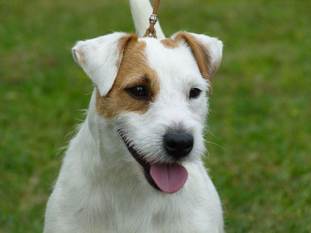 Ch jimmy flitz des contes du vieux ch ne chien de race toutes races en tous departements france - Jack russel queue coupee ...