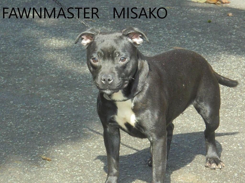 Staffordshire Bull Terrier - Fawnmaster Misako