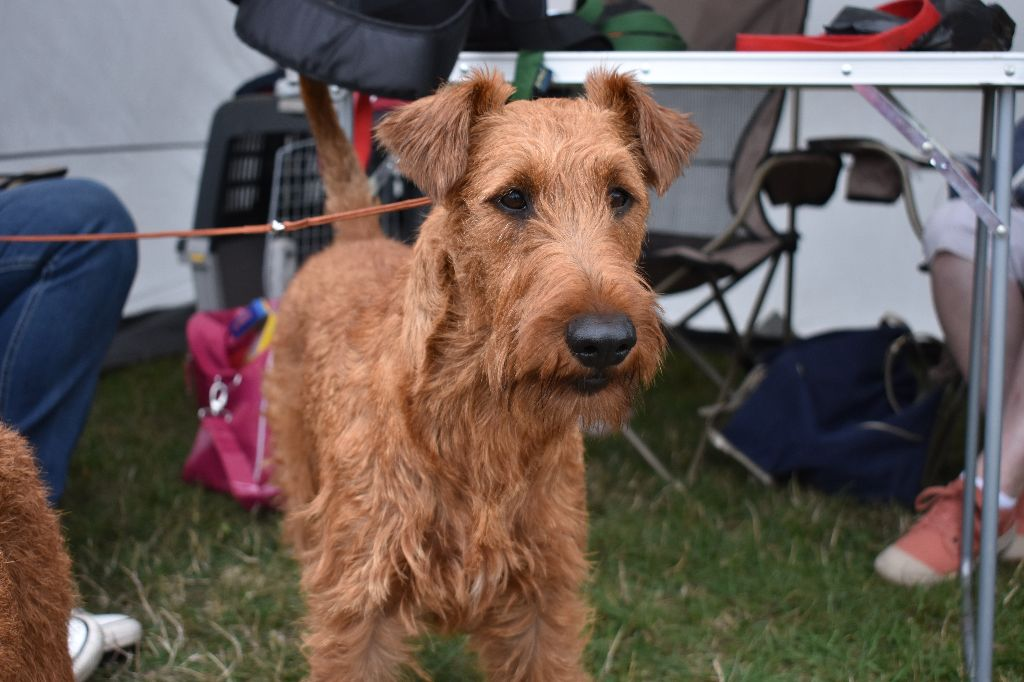 Irish Terrier - O'Nut Glen Macintosh