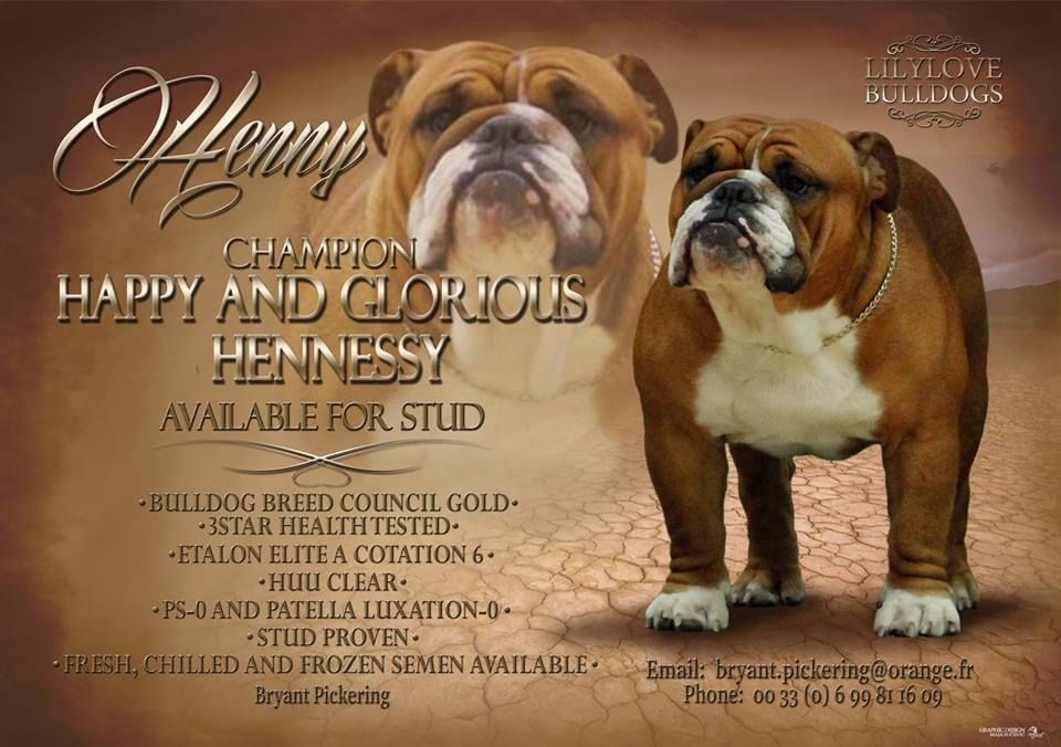 Bulldog Anglais - CH. happy and glorious Hennessy