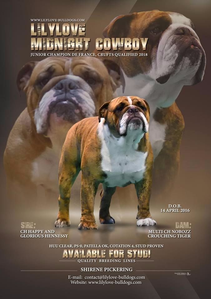 Bulldog Anglais - CH. Lilylove Midnight cowboy jr ch fr