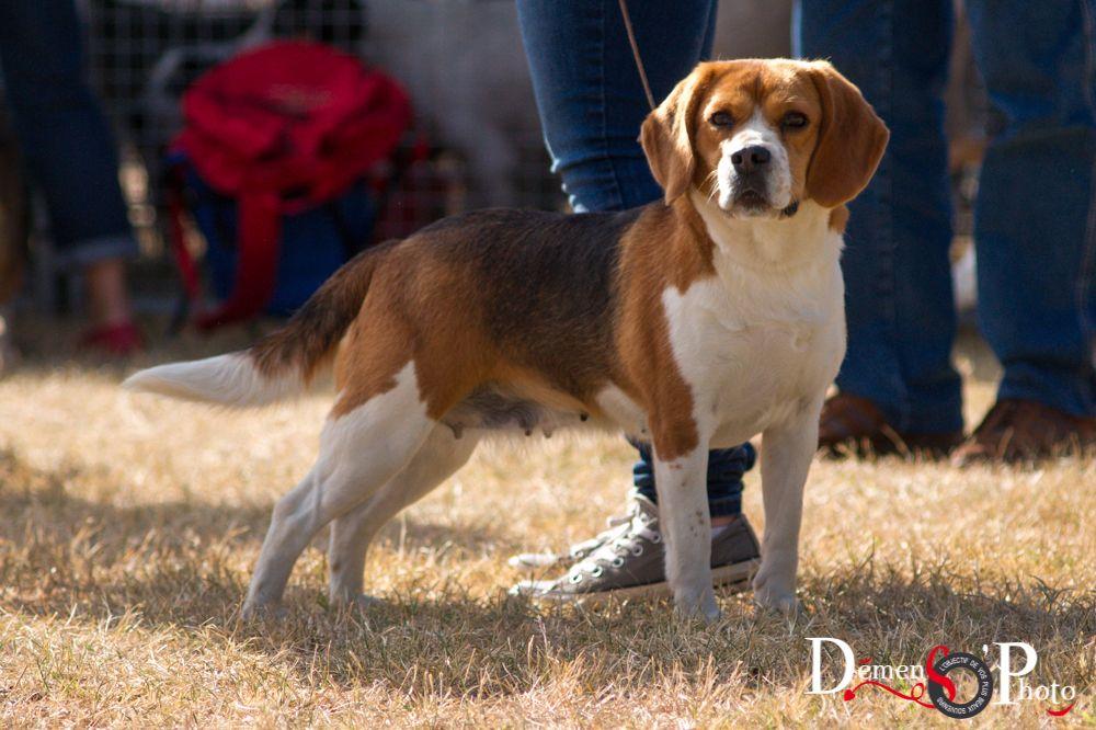 Les Beagle de l'affixe Du domaine de la villatelle