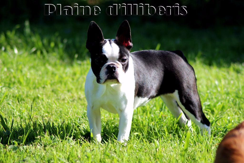 Les Boston Terrier de l'affixe De La Plaine D'illiberis