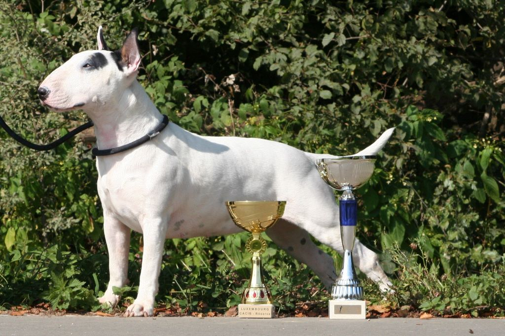 Les Bull Terrier de l'affixe Des Terres D'embellie