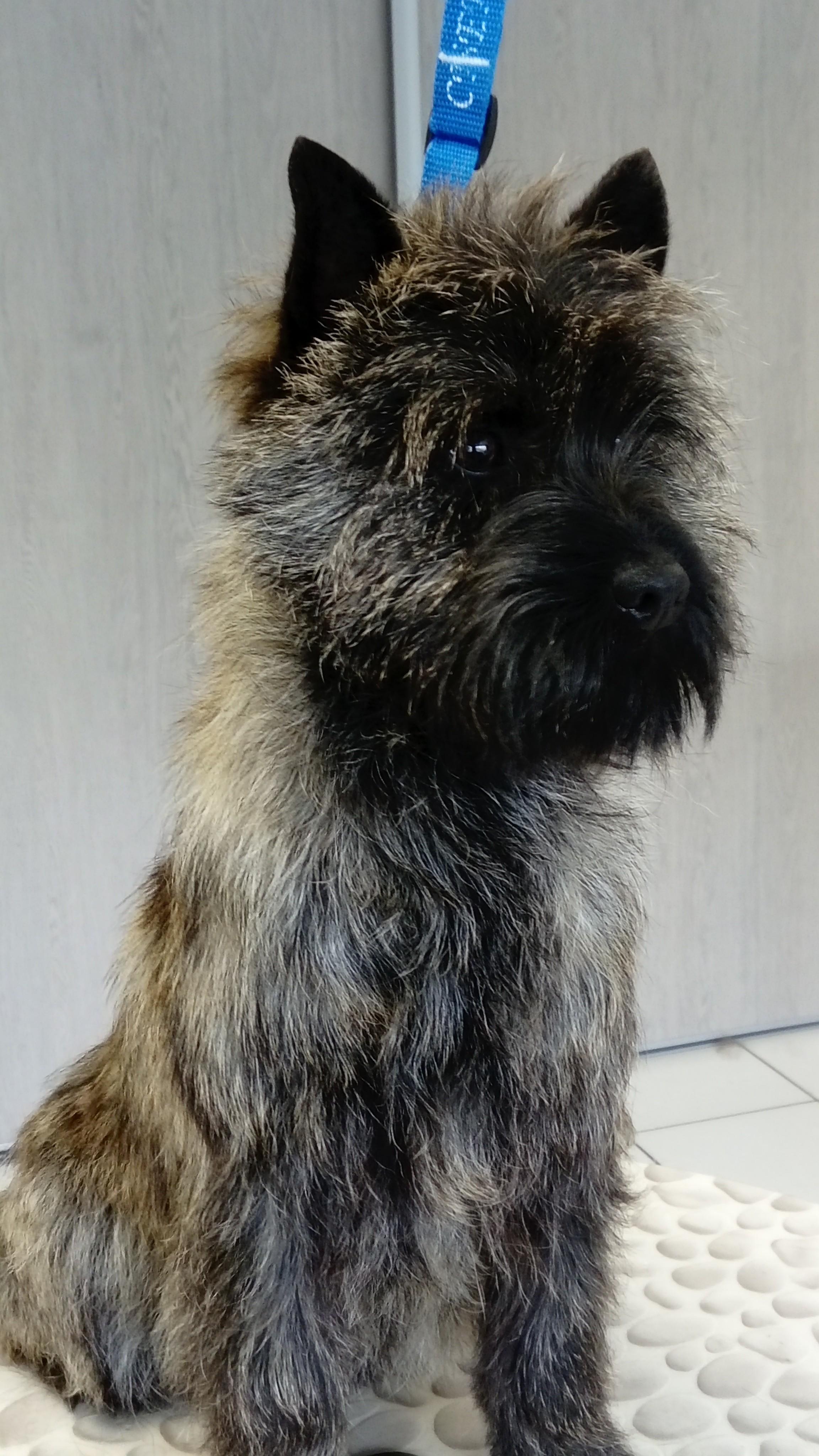 Le Standard de la race Cairn Terrier sur Atara.com