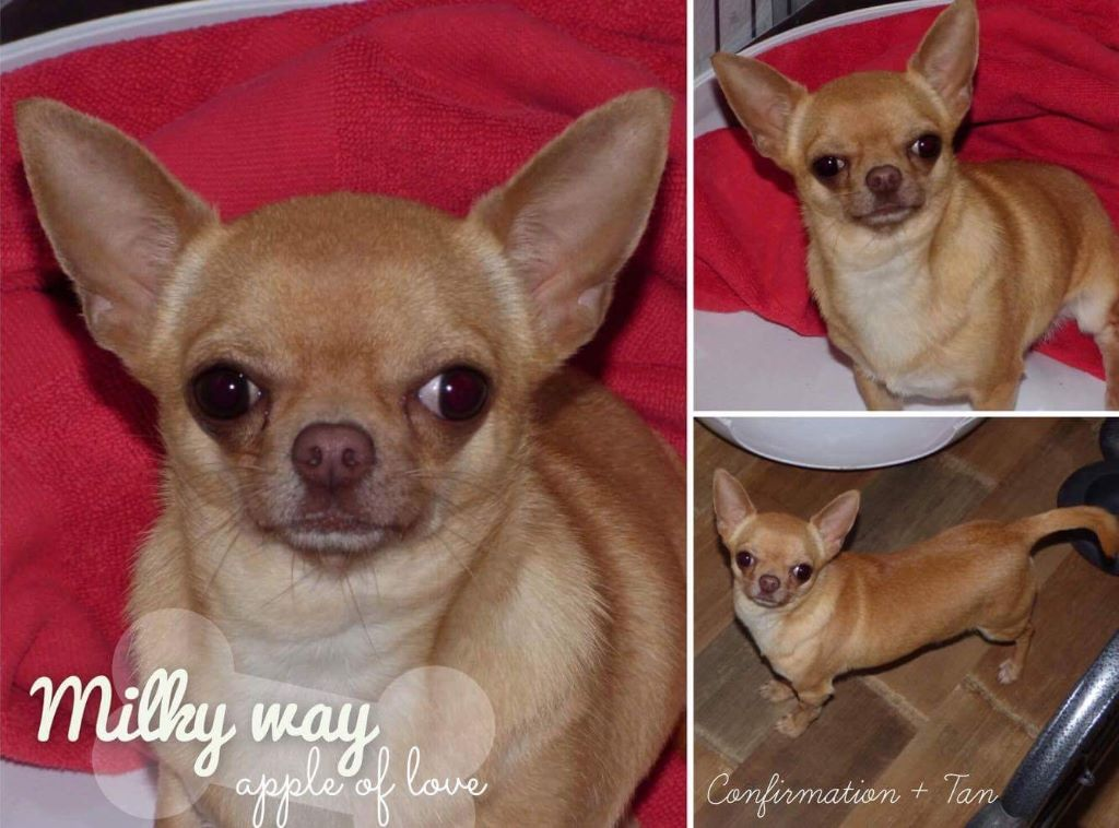 Chihuahua - Milky way Apple Of Love