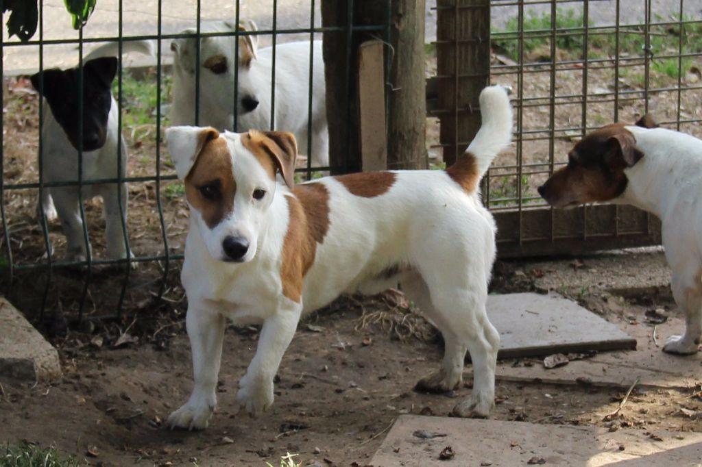 Jack Russell Terrier - Maho des champs de l'Aisne