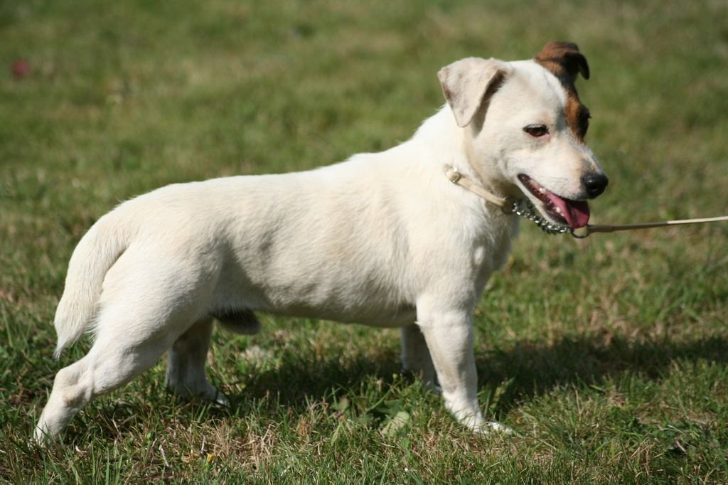 Les Jack Russell Terrier de l'affixe Des Crocs D'or De Pré
