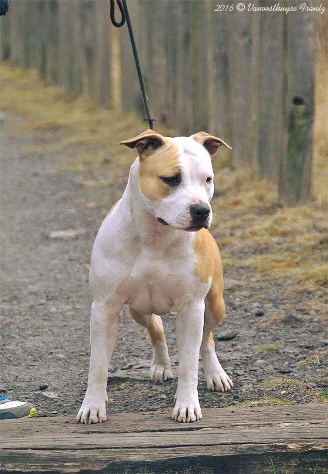 club de race staffordshire terrier
